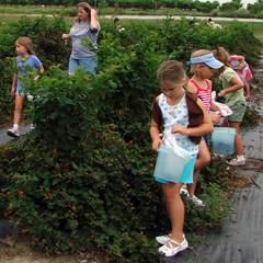 Children picking blackberry's at Ham Orchards