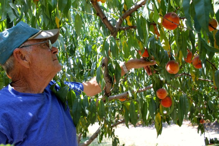 Hand picking peaches at Ham Orchards